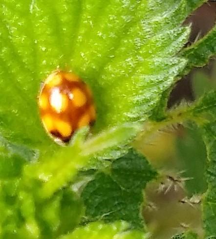 Adalia Decempunctata f. Decempustulata (10 spot ladybird)