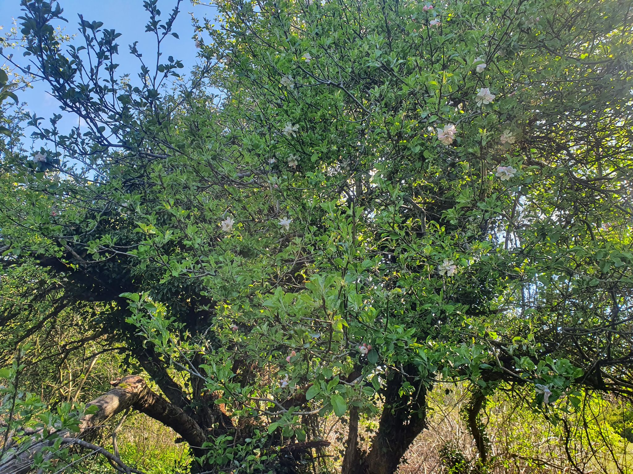 Forest Futures Uncovers an Old Apple Tree