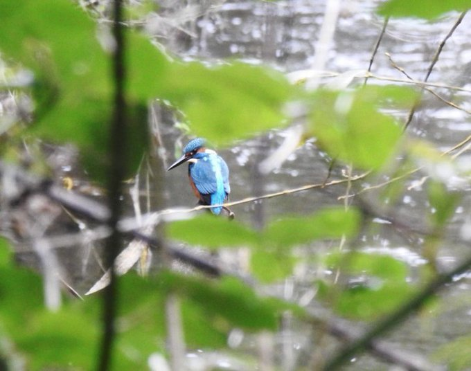Alcedinidae (Kingfisher)